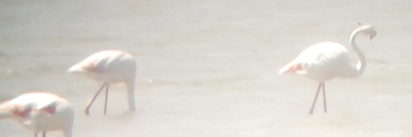 camargue-flamingos