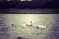 coole-park-swans