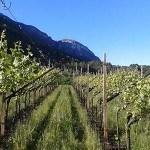 trento-vineyards